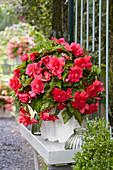 Begonia 'Giant Pendula Pink'