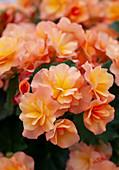 Begonia 'Solenia Apricot'