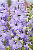 Delphinium 'Evening Light'