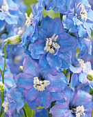 Delphinium 'Light Blue Pink'