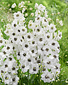 Delphinium 'White Black'