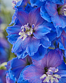Delphinium 'Delphi's Moonlight'