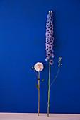 Blüte von Dahlie und Rittersporn vor blauer Wand
