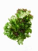 Frischer Blattsalat