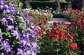 Rosen und Clematis als Kombination
