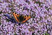 Schmetterling 'Kleiner Fuchs' auf blühendem Thymian