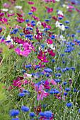 Blumenwiese mit Schmuckkörbchen und Kornblumen