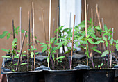 Tomatoes seedlings in the greenhouse