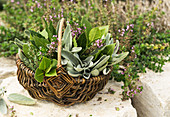 Herbs (bay leaves, sage and wild thyme) in a wicker basket
