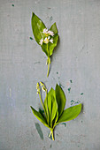Difference between wild garlic and lily of the valley plants