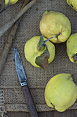 Quinces on a jute sack