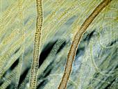 Marine seaweed, LM