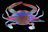 Blue Crab, X-ray
