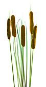 Cattails, Typha latifolia, X-ray