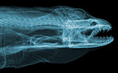 Moray Eel, Gymnothorax funebris, X-ray