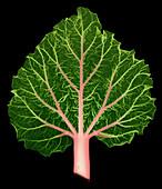 Rhubarb Leaf, Rheum sp., X-ray