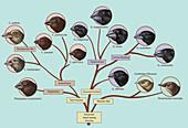 Finch Family Tree, Illustration