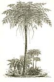 Carboniferous Ferns