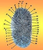 Fingerprint Diagram, 1940
