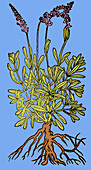 Spikenard, Alchemy Plant