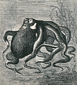 Octopus, 1873