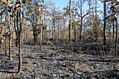 Cambodian Forest After Fire