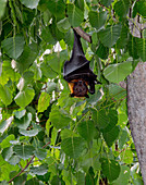 Lyle's flying foxes