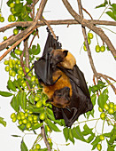 Lyle's flying fox with pup