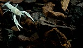 Oklahoma Cave Crayfish