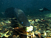 Pirarucu or Arapaima