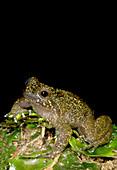 Mehuan Green Frog
