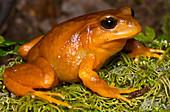 Chilean Tomato Frog