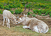 Addax Adult and Juvenile