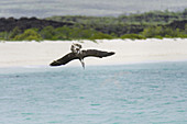 Blue-Footed Booby Diving