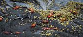 Marine Iguana & Sally lightfoot Crabs
