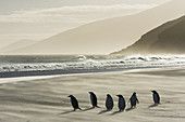 Gentoo Penguins on Beach in Wind Storm