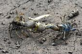 Fiddler Crab Fight