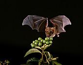 Little yellow-shouldered bat (S. lilium)