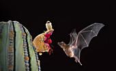 Lesser long-nosed bat at cardon cactus fruit