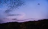 Brazilian free-tailed bats emerging at dusk