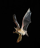Pallid bat with centipede