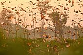Fruit bats over Kasanka swamp, Zambia