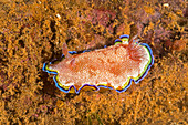 Goniobranchus Nudibranch