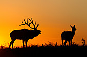 Elk at Sunset
