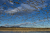 Snow Geese Taking Flight from Large Pond