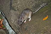 Allegheny Woodrat (Neotoma Magister)
