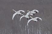 Whooper Swans in Snowstorm, Japan
