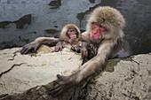 Snow Monkeys in Thermal Pool