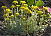 Sedum Plant in Rockery
