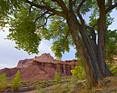 Cottonwood Tree and the Castle Formation